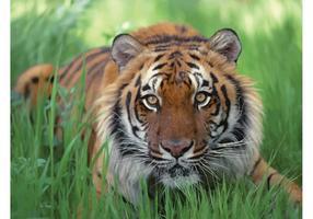 Bengal Tiger Desktop Image