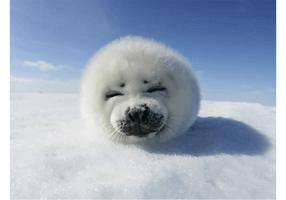 Funny Harp Seal