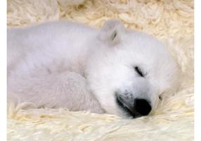 Polar Bear Cub Image