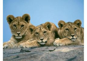 Lion Cubs Vector