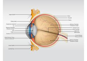 Eye Anatomy Vector