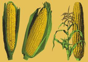 Engraved Corn Illustrations