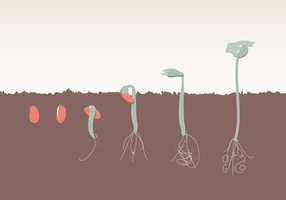 Plant Growth Evolution Free Vector