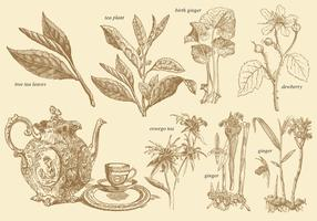 Old Style Tea Plants