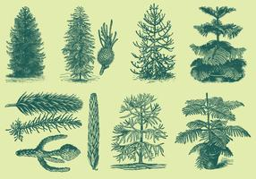 Old Style Drawing Araucarias