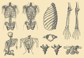 Human Bones And Deformations