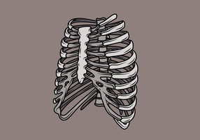 Ribcage Illustration