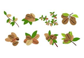 Free Argan Fruit Vector