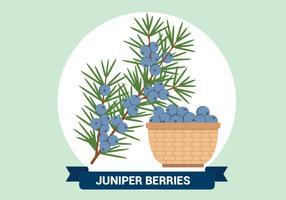 Juniper Berries Vector Illustration