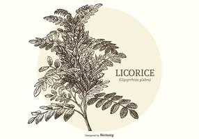 Vintage Engraved Licorice Plant Vector
