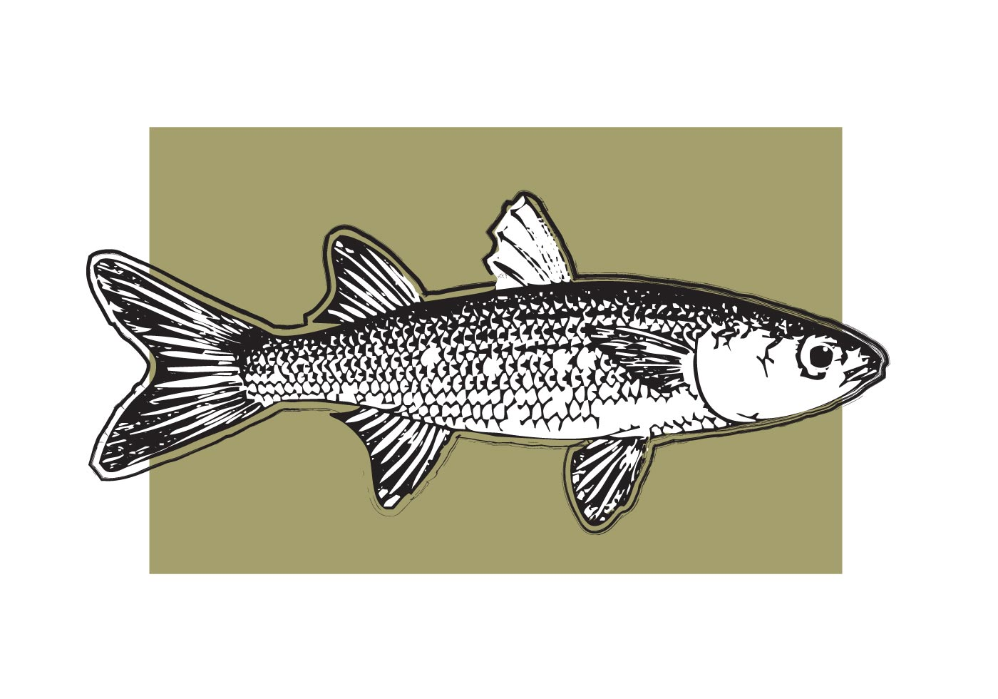 Mullet fish vector free vector art at vecteezy for Pictures of mullet fish
