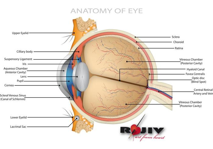 Anatomy Of Eye Download Free Vector Art Stock Graphics Images