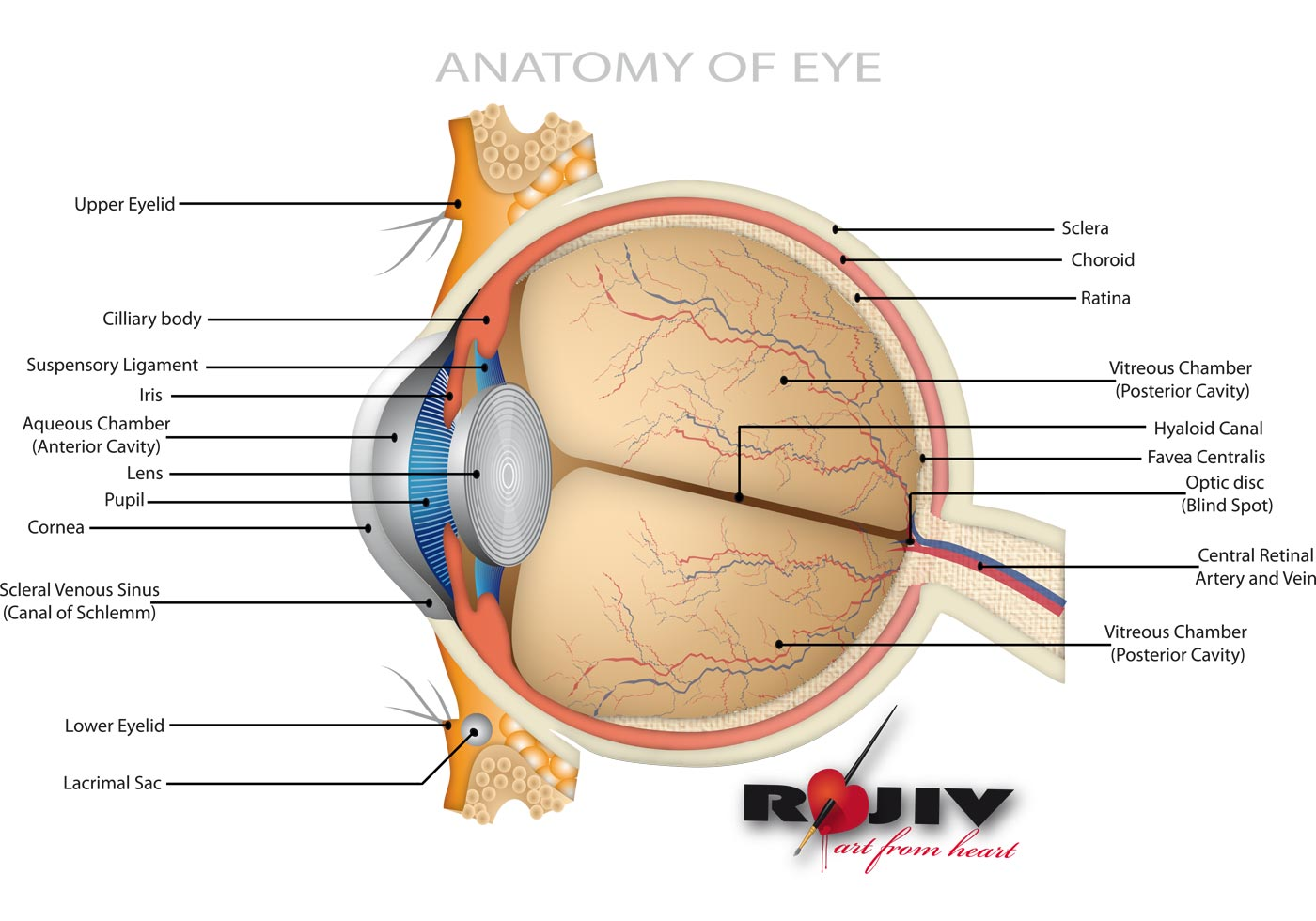 Anatomy of Eye - Download Free Vector Art, Stock Graphics & Images