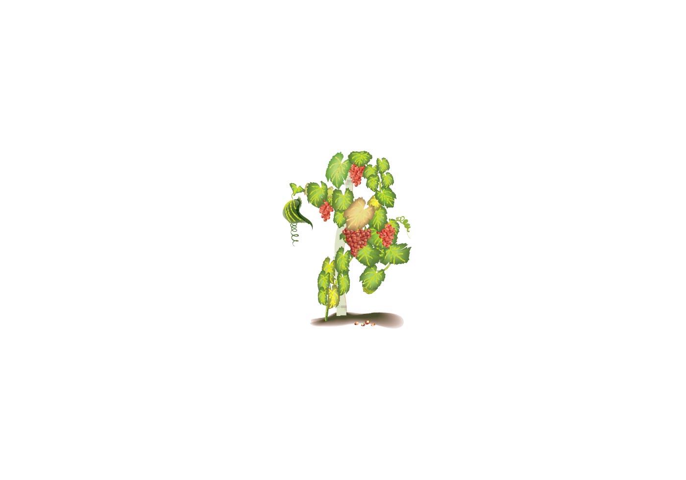 videira grape vine vector vine vector free vine vector images