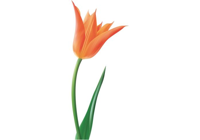 Tulip Vector Flower