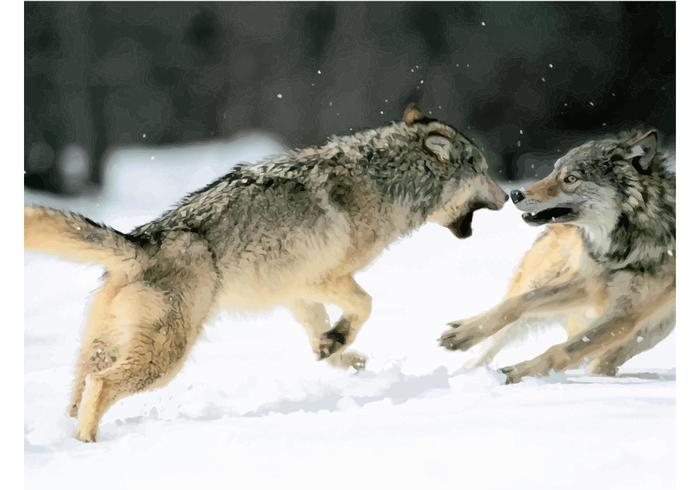 Fighting Wolves in the Snow