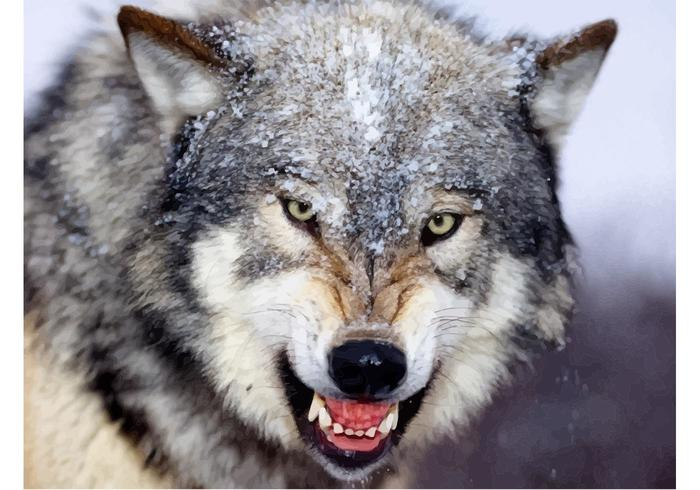 Gray Wolf Close Up