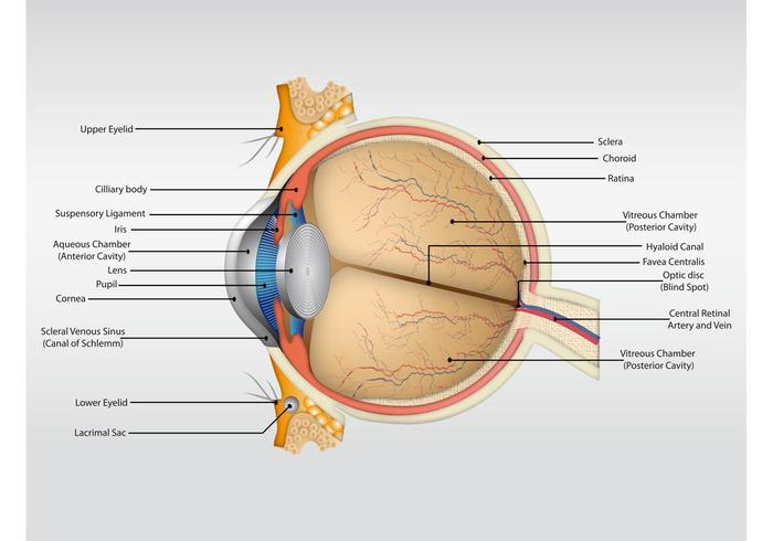 eye anatomy vector download free vector art stock graphics images