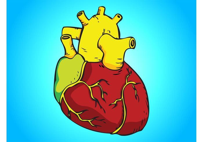 Vector corazón humano