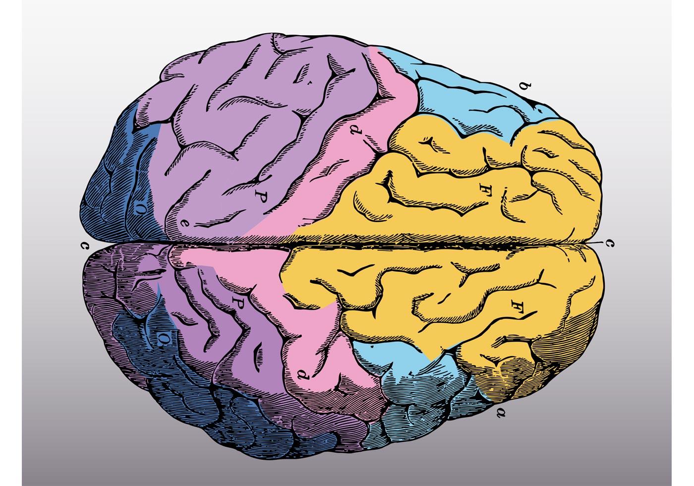 colorful brain vector download free vector art stock