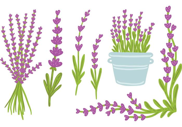 hand drawn Lavender vector