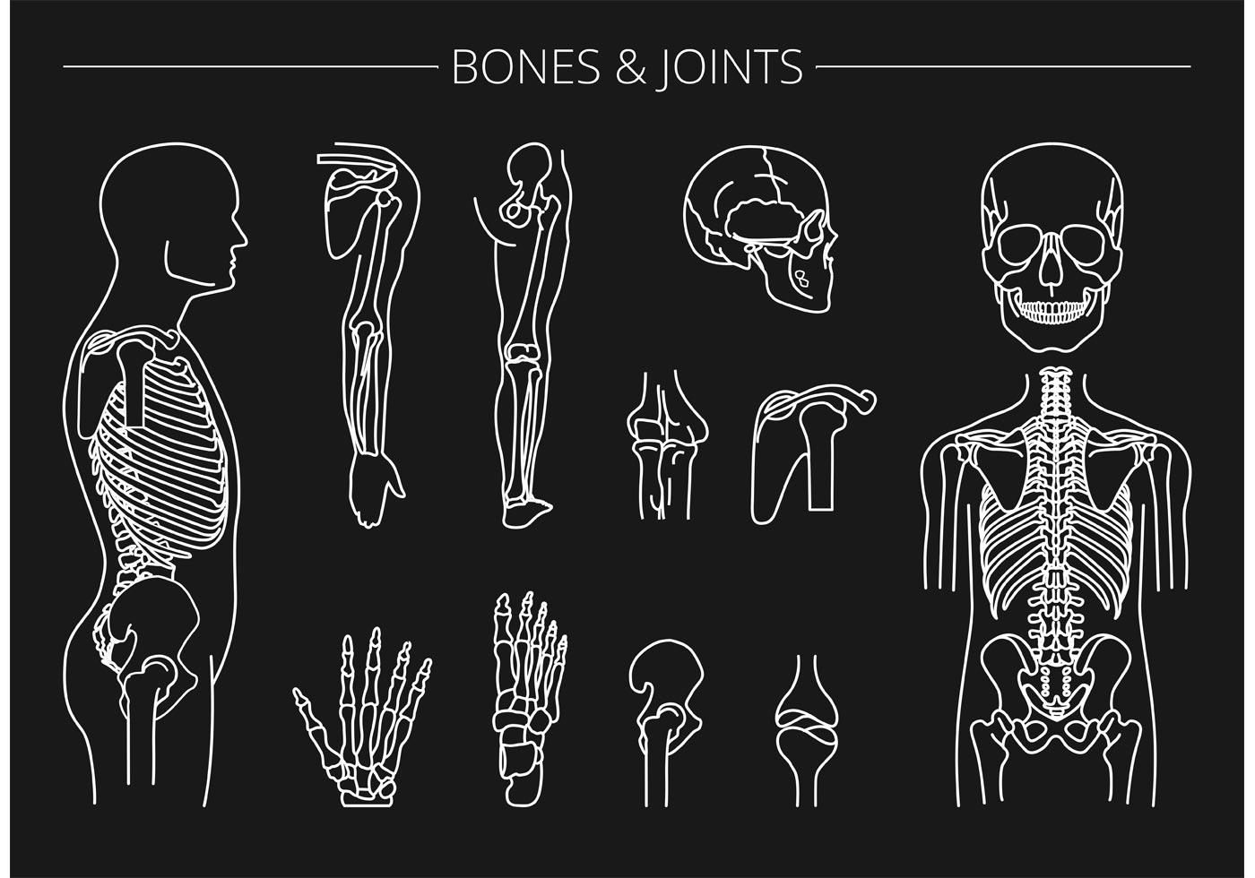 free vector bones and joints download free vector art