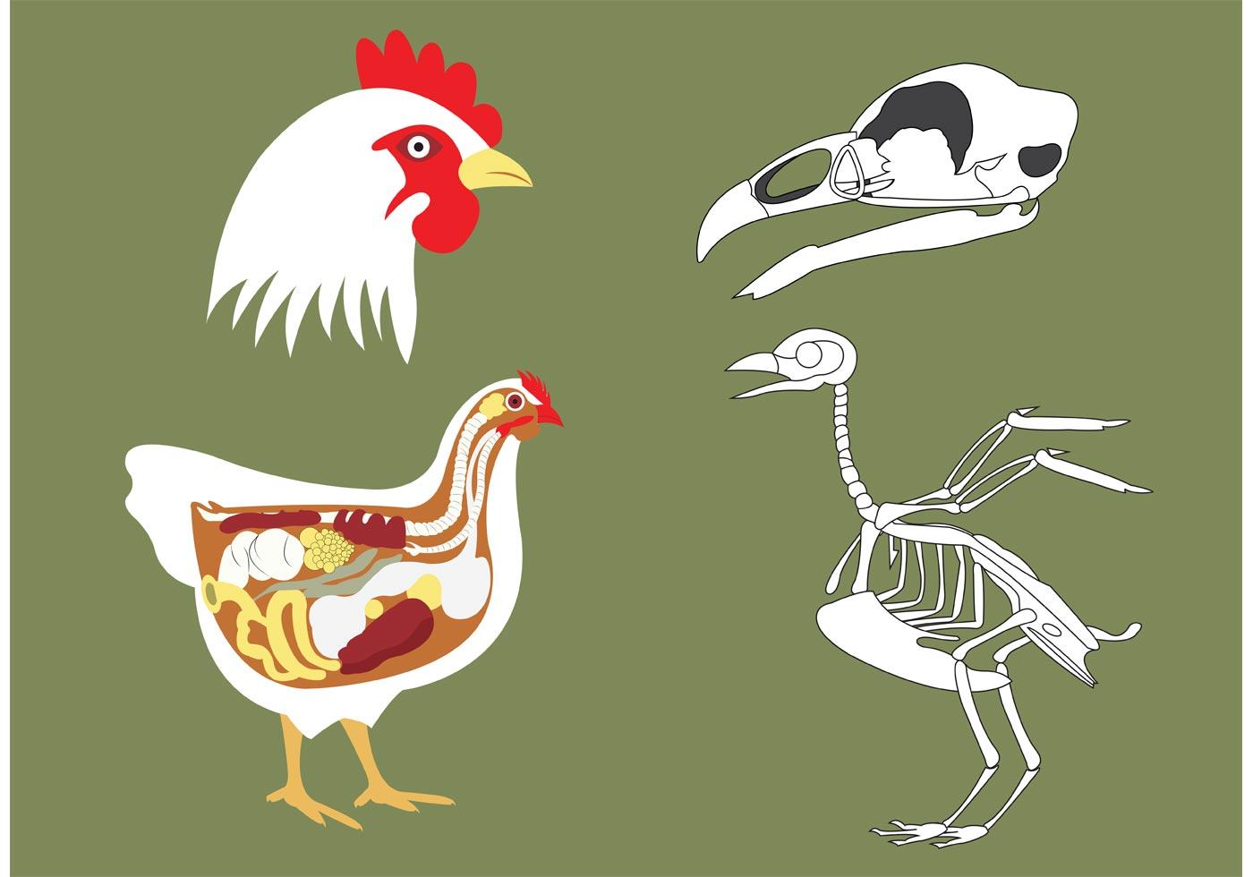 Chicken Bone Vectors