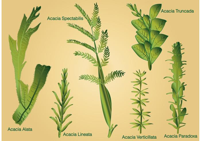 Type of Acacia Leaf Vectors