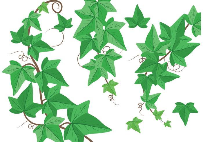 Ivy Vine Vectors