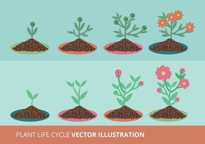 Plant Growth Cycle Vector Illustration