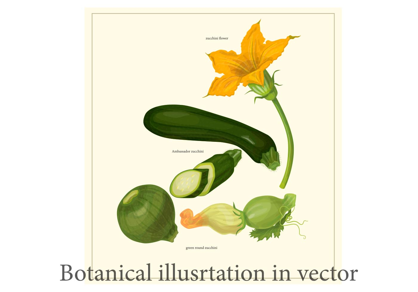 Line Drawing Zucchini : Zucchini botanical poster vector download free