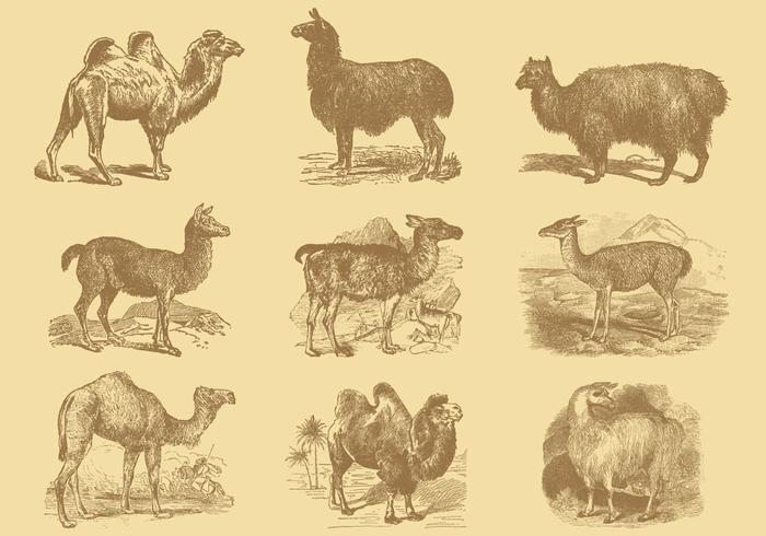 Alpacas And Camels
