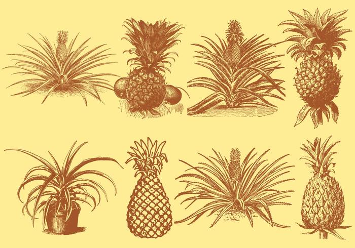 Old Style Drawing Ananas