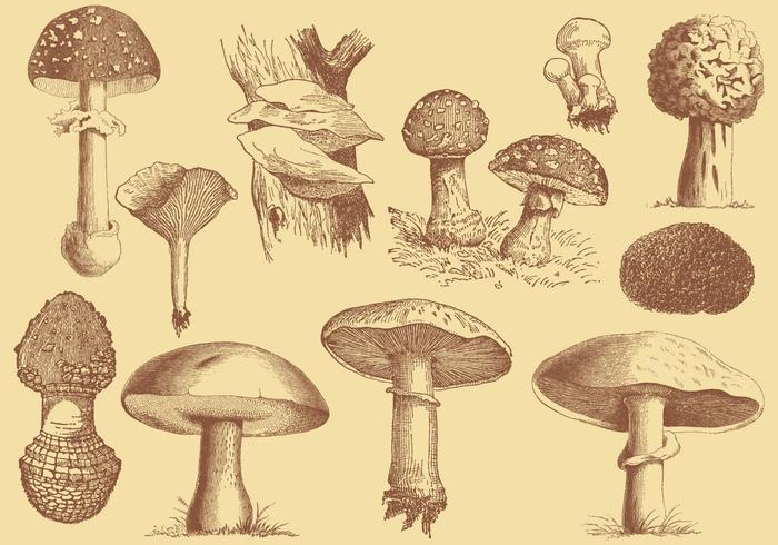 Old Style Mushroom and Truffles Vector Drawings