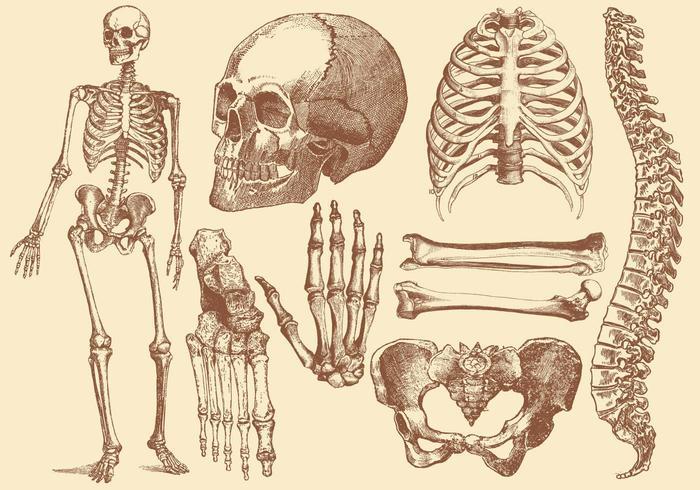 Estilo antigo desenhando ossos humanos