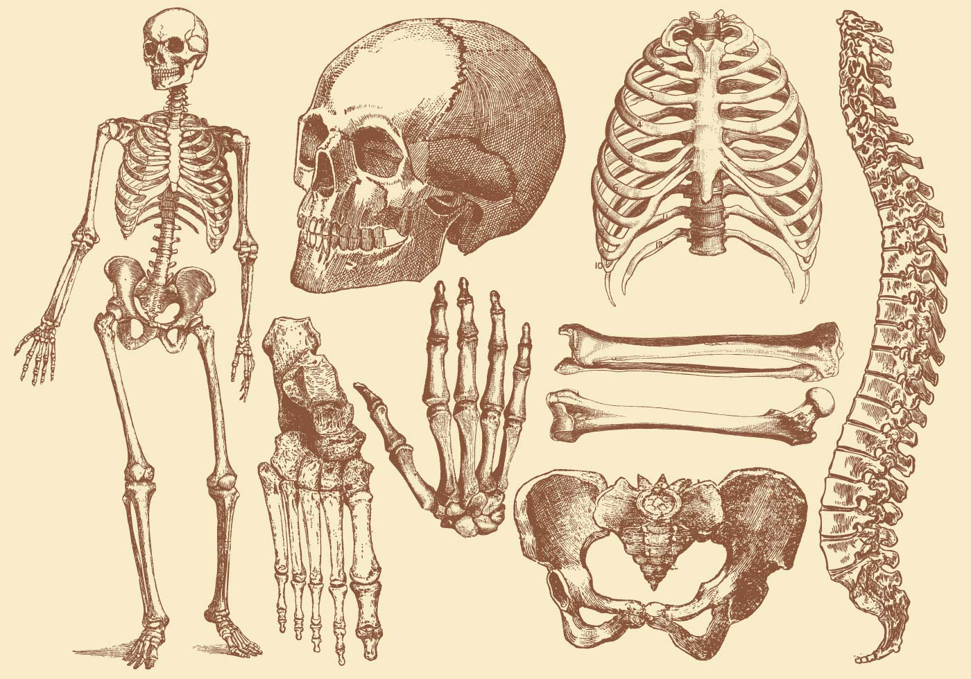 Old Style Drawing Human Bones - Download Free Vector Art, Stock ...