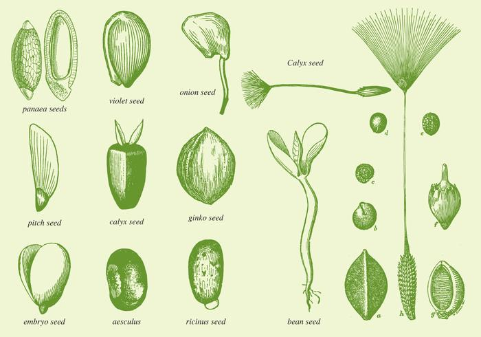 Old Drawing Seeds Download Free Vector Art Stock