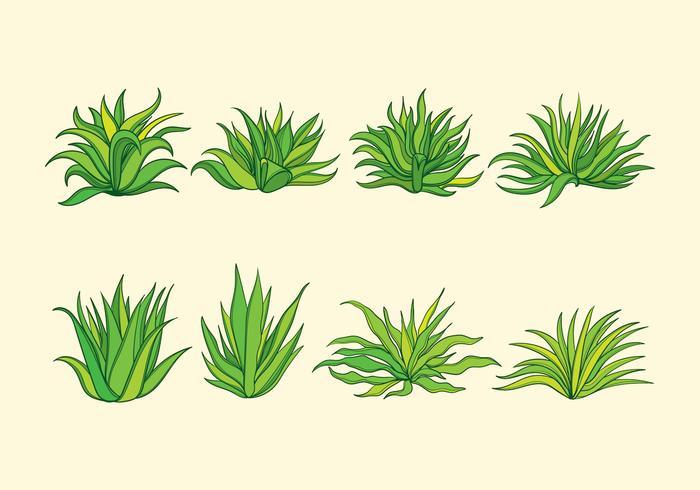 Maguey växt