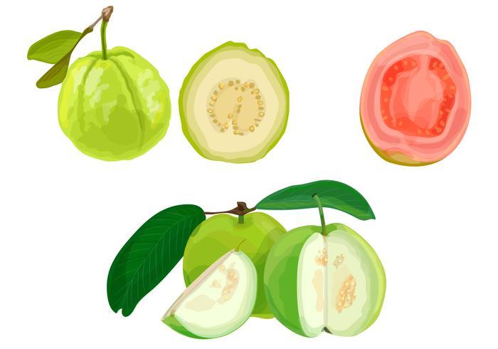 Guava illustration