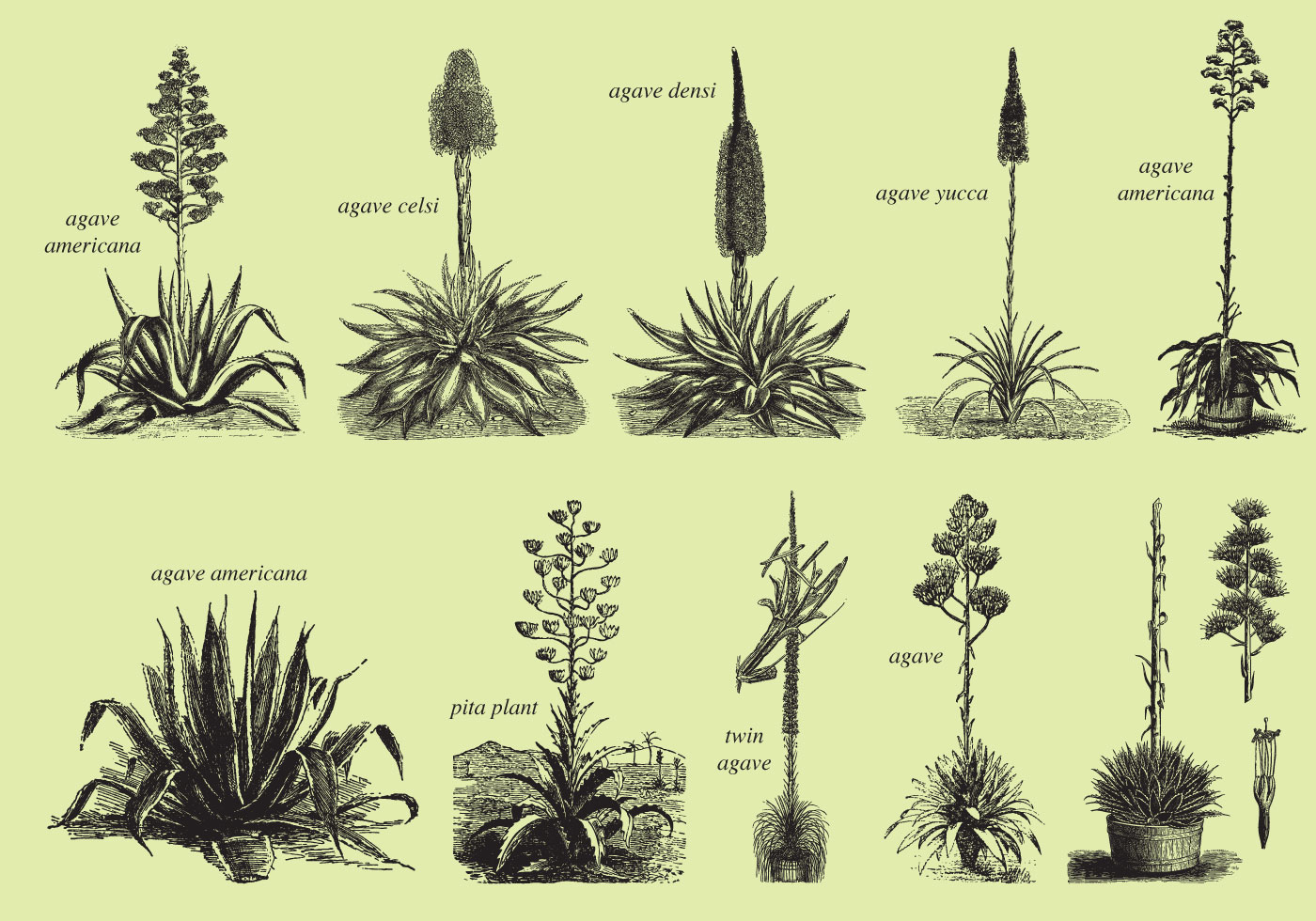 agave and maguey drawings download free vector art flower garden clip art free Free Vintage Clip Art Flower