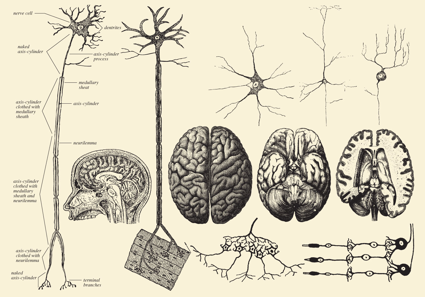 Brain And Neuron Drawings - Download Free Vector Art ...