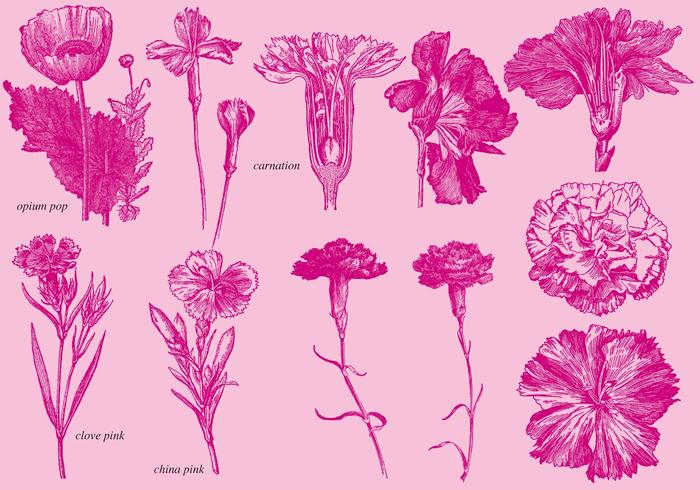 Old Style Drawing Carnations