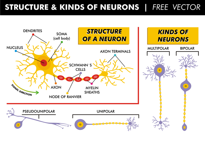 Structure & Kinds of Neurons Free Vector