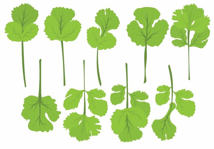 Flat Cilantro Leaf Set