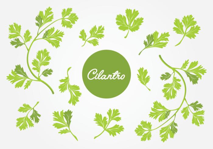 Juego de hoja de cilantro