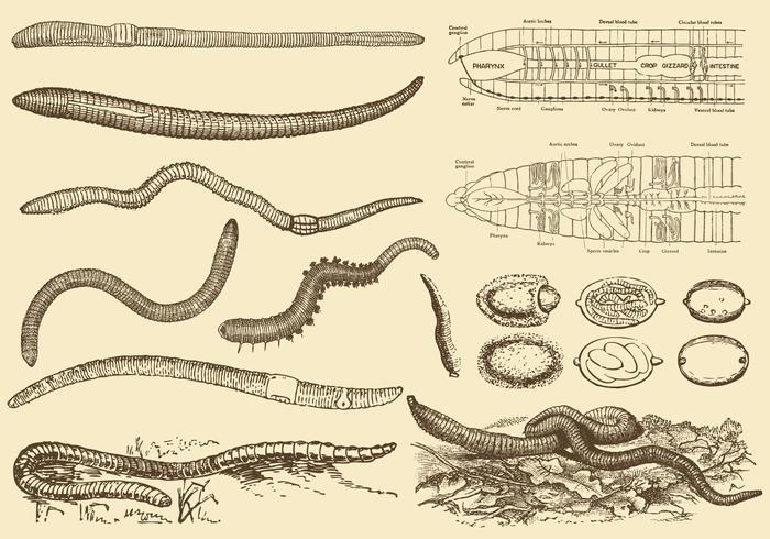 Earthworm Drawings