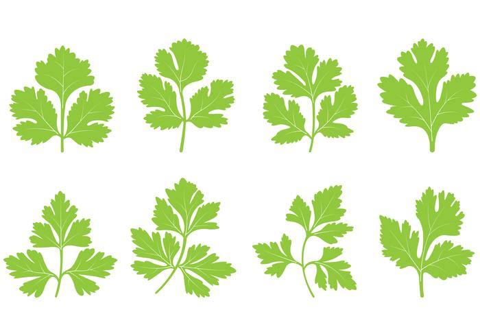 Set Of Cilantro Leaf Vector