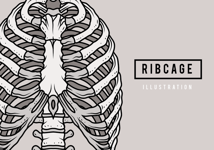 Ribcage Illustration vector