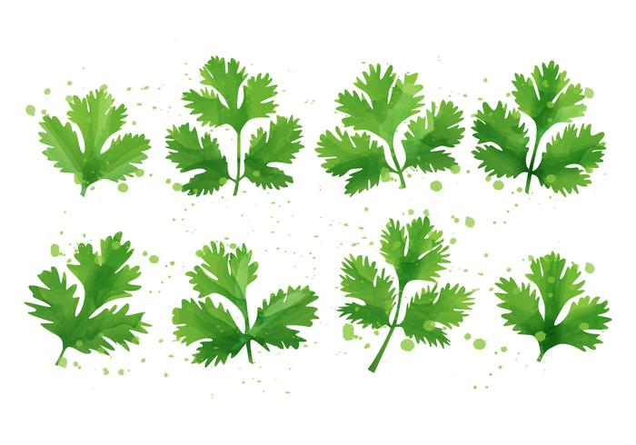 Cilantro - Mint Leaf