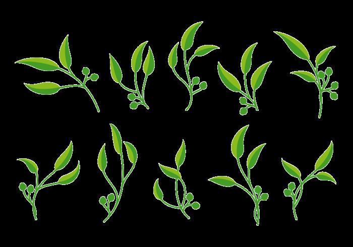 Eukalyptus-Vektor
